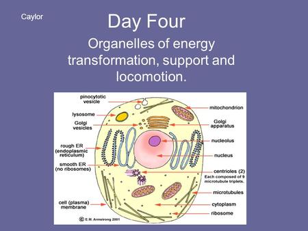 Day Four Organelles of energy transformation, support and locomotion. Caylor.