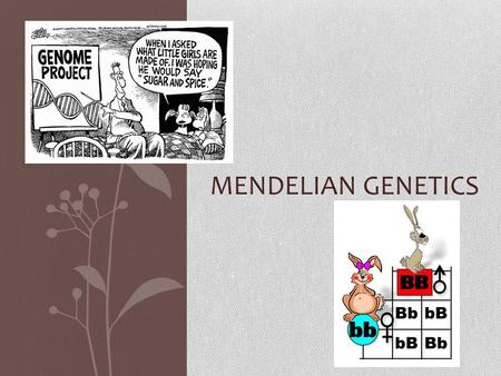 MENDELIAN GENETICS. Gregor Johann Mendel (1822-1884) Austrian Monk Studied the inheritance of traits in pea plants Developed the laws of inheritance.
