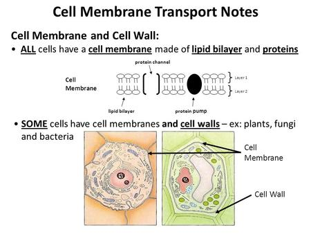 Cell Membrane Transport Notes Cell Membrane and Cell Wall: ALL cells have a cell membrane made of lipid bilayer and proteins Cell Membrane lipid bilayer.