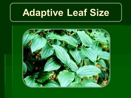 Adaptive Leaf Size. Purpose: o What determines the size of leaves? o Givnish and Vermeij (1976) o suggested that leaf size is determined by the heat budget.