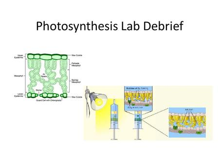 Photosynthesis Lab Debrief. Leaf Discs and Infiltration Why would a leaf disc usually float when placed in a liquid solution? – The air that is in the.