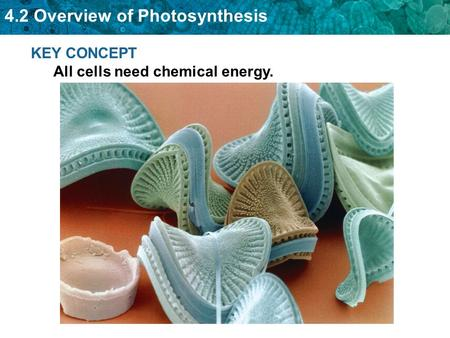 4.2 Overview of Photosynthesis KEY CONCEPT All cells need chemical energy.