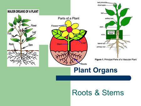Plant Organs Roots & Stems. I. Roots A. F(x)s = grow underground 1. Absorb water & nutrients from soil 2. Anchor plant in the soil 3. Make hormones important.