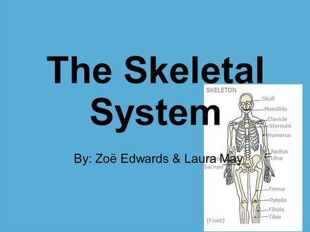 The Skeletal System By: Zoë Edwards & Laura May. Functions Supports body Protects body Stores Calcium & Other Minerals Make blood cells (Produced by marrow)‏