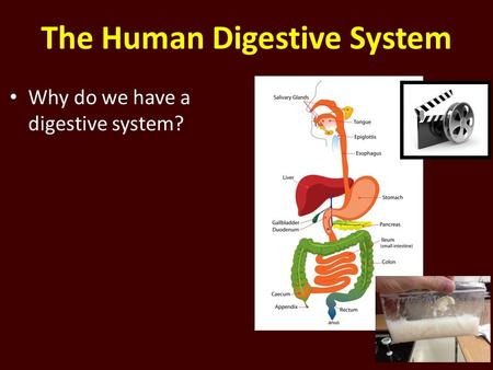 The Human Digestive System Why do we have a digestive system?