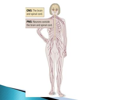 2 divisions of the nervous system PNS – Peripheral Nervous System CNS – Central Nervous System – brain, spinal cord.