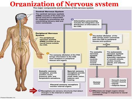 Organization of Nervous system. Structural and functional unite of the nervous system The Neuron.