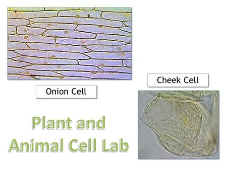 Plant and Animal Cell Lab