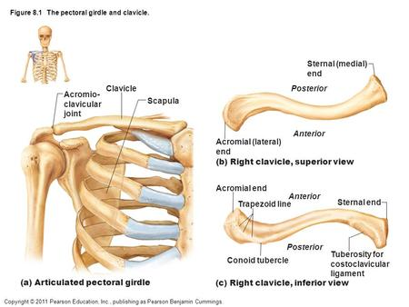 Copyright © 2011 Pearson Education, Inc., publishing as Pearson Benjamin Cummings. Figure 8.1 The pectoral girdle and clavicle. Clavicle Acromio- clavicular.
