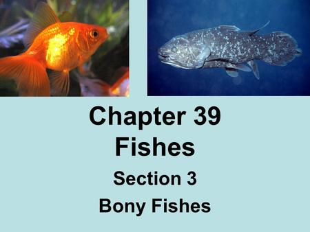 Chapter 39 Fishes Section 3 Bony Fishes. Characteristics Class Osteichthyes Bone- harder & heavier than cartridge Lungs- early bony fishes Swim bladder-