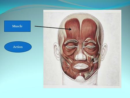 Frontalis Raises eyebrows Muscle Action. Muscle= Zygomaticus Demonstrate the action. A B C D E.