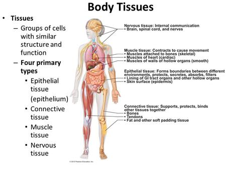 Body Tissues Tissues – Groups of cells with similar structure and function – Four primary types Epithelial tissue (epithelium) Connective tissue Muscle.