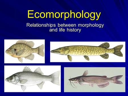 Ecomorphology Relationships between morphology and life history.