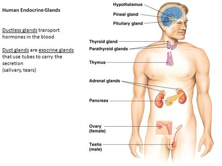 2003-2004 Human Endocrine Glands Ductless glands transport hormones in the blood Duct glands are exocrine glands that use tubes to carry the secretion.