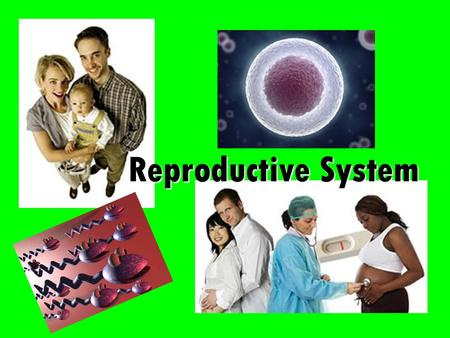 Reproductive System. Overview Body system responsible for gamete formation (eggs and sperm) When gametes combine, offspring will result Existence & continuation.