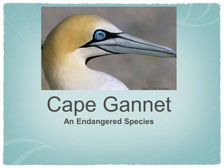 Cape Gannet An Endangered Species. Cape Gannet Description This bird is about a meter long and their wing span can get to around two meters. At the top.
