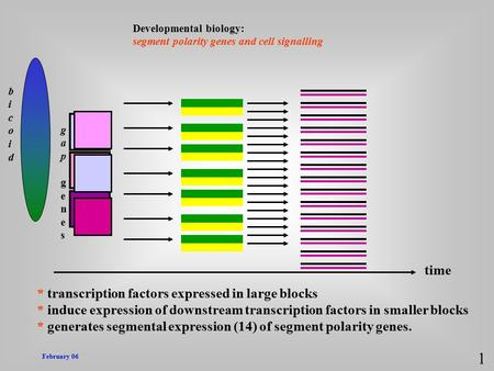 February 06 Developmental biology: segment polarity genes and cell signalling 1 bicoidbicoid gapgenesgapgenes * transcription factors expressed in large.