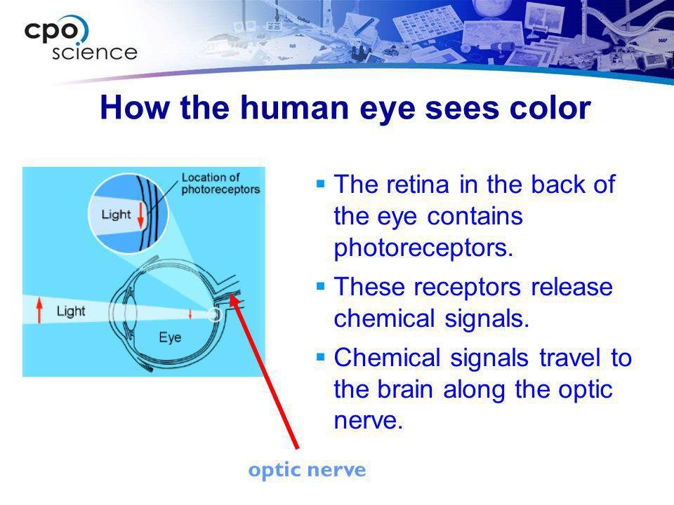 Photoreceptors in the eye  Cones respond to three colors: red, green and blue.