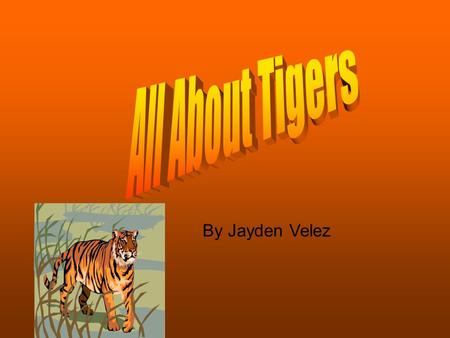 By Jayden Velez. Home Sweet Home Tigers live near Asia Bay of Bengal Sea of Japan Yellow Sea and Australia. They don't live near Africa Europe North Atlantic.