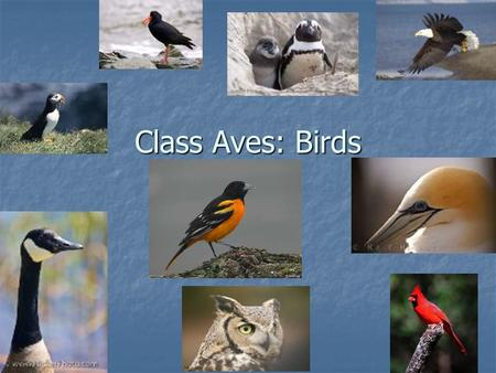 Class Aves: Birds. Characteristics of Class Aves Adaptations for flight (feathers/wings) Adaptations for flight (feathers/wings) Endothermic/High metabolic.