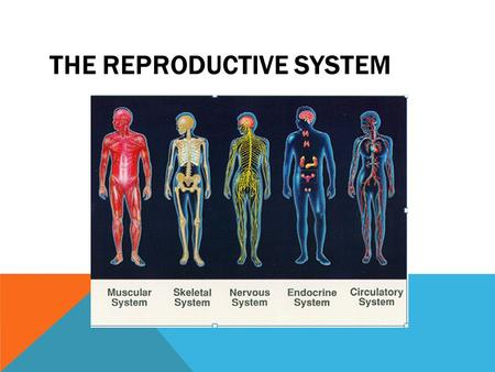 THE REPRODUCTIVE SYSTEM. INTRODUCTION TO THE REPRODUCTIVE SYSTEM  The major function of the reproductive system is to ensure survival of the species.