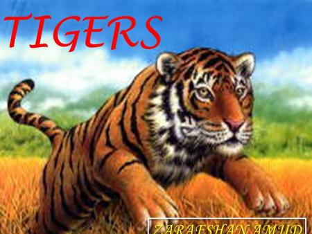 TIGERS ZARAFSHAN AMJID. Contents Introduction---------------------------------- 02 What is Tiger? ---------------------------------- 03-4 Kind of tigers.----------------------------------