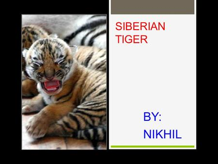 SIBERIAN TIGER BY: NIKHIL APPEARANC E Siberian tigers adapt to the environment with thick fur and layer of fat along belly and flanks. It allows it to.