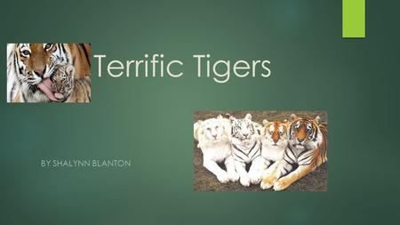 Terrific Tigers By Shalynn blANTON.