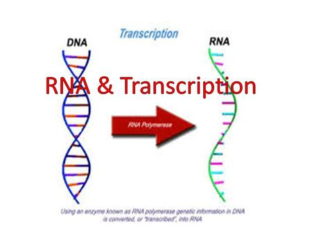 Objective Explain the function and structure of RNA. Determine how transcription produces a RNA copy of DNA. Analyze the purpose of transcription.