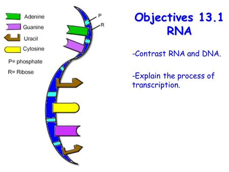 Lesson Overview Lesson OverviewFermentation Objectives 13.1 RNA -Contrast RNA and DNA. -Explain the process of transcription.