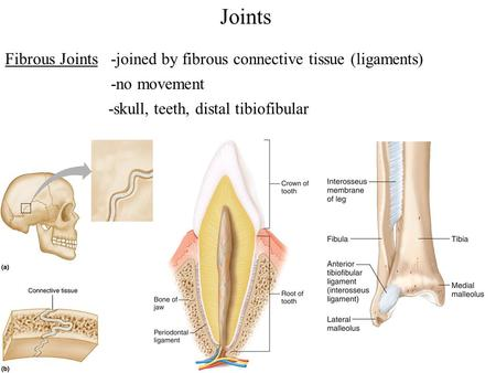 Joints Fibrous Joints -skull, -no movement -joined by fibrous connective tissue (ligaments) distal tibiofibularteeth,