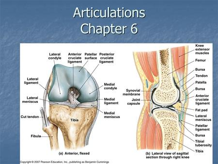 Articulations Chapter 6. Classification of Joints (Articulations):  Joint- Where two bones interact  Three functional classes of joints Synarthroses.