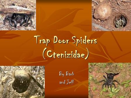 Trap Door Spiders (Ctenizidae) By Barb and Jeff. Characteristics of Ctenizidae (Trapdoor Spider) Medium-sized spiders that construct burrows with a cork-like.