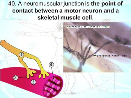 40. A neuromuscular junction is the point of contact between a motor neuron and a skeletal muscle cell.