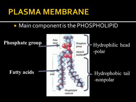  Main component is the PHOSPHOLIPID Fatty acids Hydrophilic head -polar Hydrophobic tail -nonpolar Phosphate group.