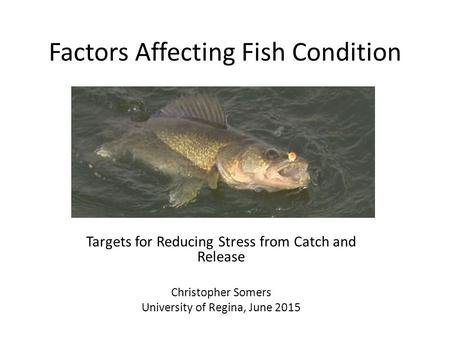 Factors Affecting Fish Condition Targets for Reducing Stress from Catch and Release Christopher Somers University of Regina, June 2015.
