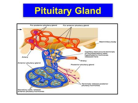 Pituitary Gland. Lecture Objectives Explain hypothalamus as the major integrative site for the neuroendocrine system. Contrast anterior and posterior.
