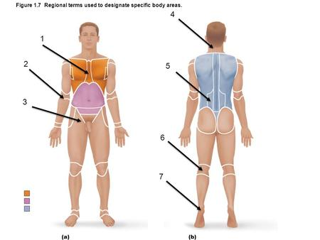 Figure 1.7 Regional terms used to designate specific body areas. 1 2 3 4 5 7 6.