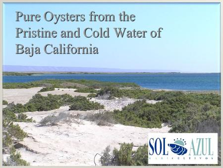 Pure Oysters from the Pristine and Cold Water of Baja California.