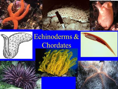 Echinoderms & Chordates. Phylum Echinodermata (echinoderms) About 6,000 species All _______________.