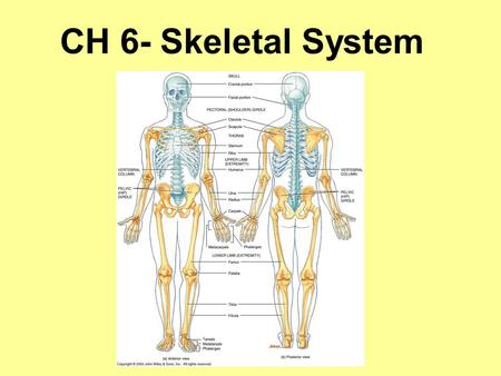 CH 6- Skeletal System. Fun Bone Facts When you were born you had over 300 bones. Now, you have 206 bones. Over half the body's bones are in the hands.