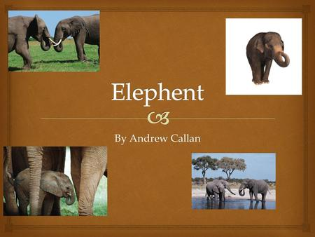 Elephent By Andrew Callan.