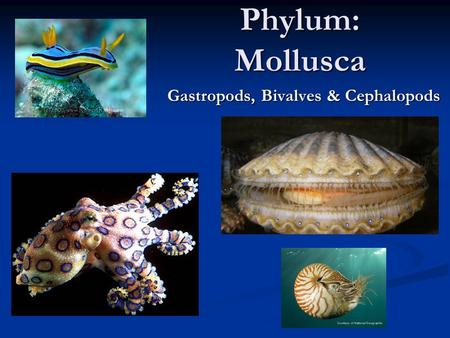 Phylum: Mollusca Gastropods, Bivalves & Cephalopods.