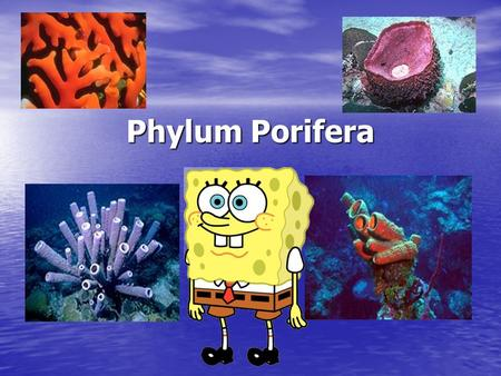 Phylum Porifera A.K.A.Sponges. Sponges are an animal?? Yes, they are!!! Yes, they are!!! Sessile- sponges do not move; anchored to one place (rock or.