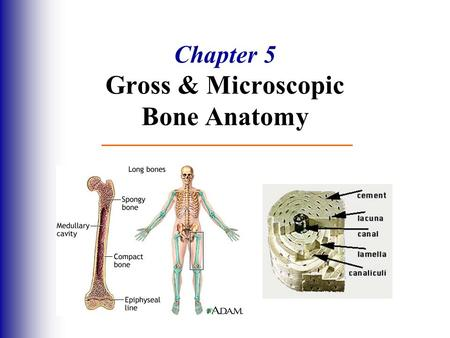 Chapter 5 Gross & Microscopic Bone Anatomy. The Skeletal System Parts of the skeletal system  Bones (skeleton)  Joints  Cartilages  Ligaments Divided.