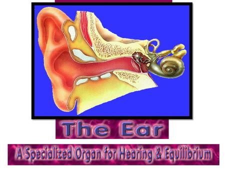 OUTER EAR Structures – Pinna – External Auditory Canal – Tympanic Membrane Boundary between outer and middle ear Transfers sound vibrations to bones of.
