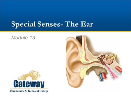 Special Senses- The Ear