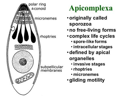 Originally called sporozoa no free-living forms complex life cycles spore-like forms intracellular stages defined by apical organelles invasive stages.