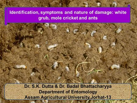 Dr. S.K. Dutta & Dr. Badal Bhattacharyya Department of Entomology Assam Agricultural University,Jorhat-13 Identification, symptoms and nature of damage: