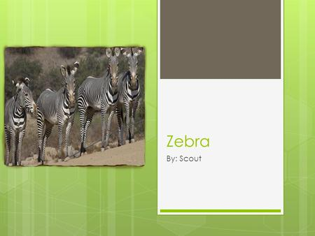 Zebra By: Scout. Location  Area From: Eastern and Southern Africa  Habitat: Grasslands and semi-deserts.